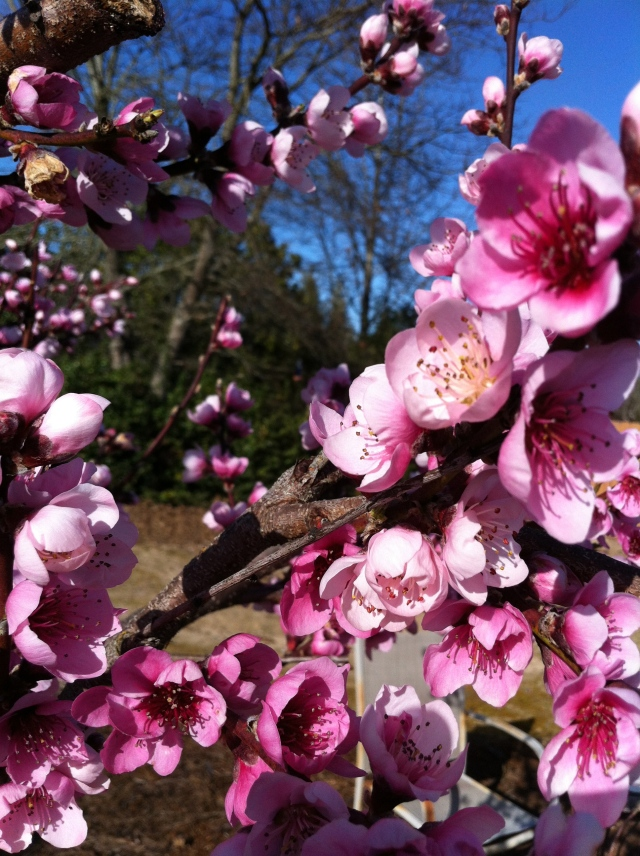 Frost Peach Blossoms