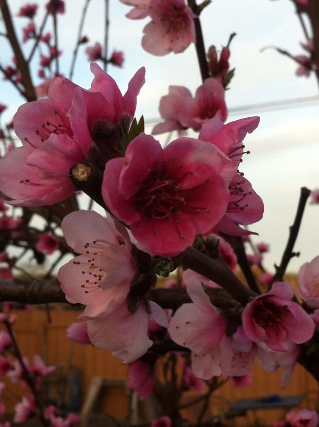 Mar2013 Peach Blossoms