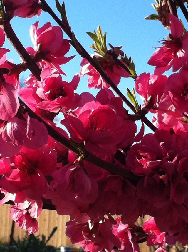 Mar2013 Nectarine Blossoms