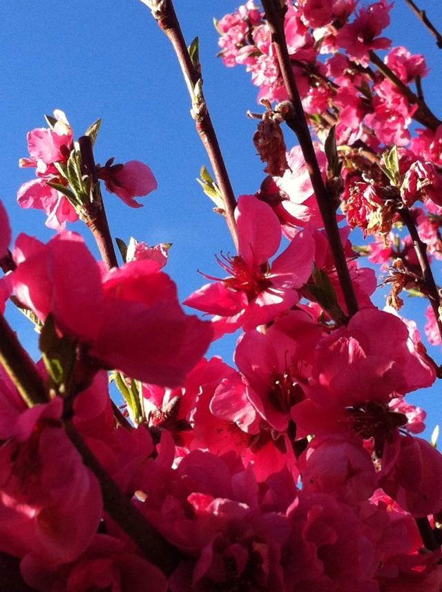 More Nectarine Glory
