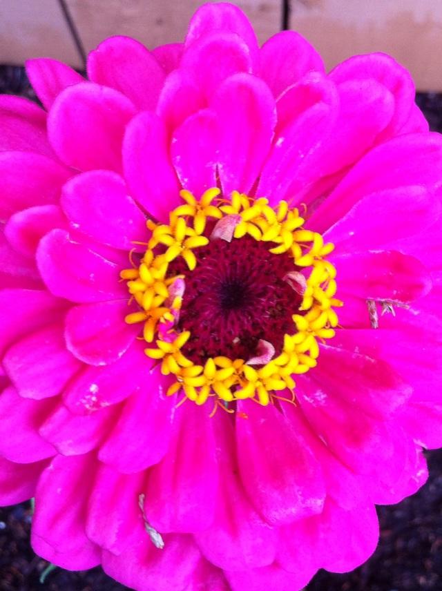 Zinnia in Full Bloom