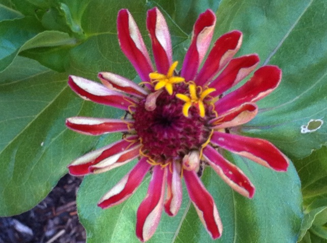 Zinnia Bloom 2