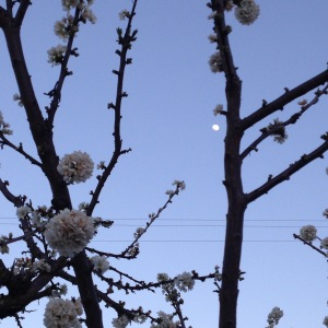 Pluot Blossoms with an Almost Full Moon