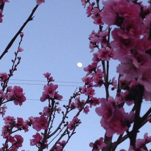 Nectarine Blossoms with an Almost Full Moon